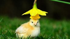 chicken for easter